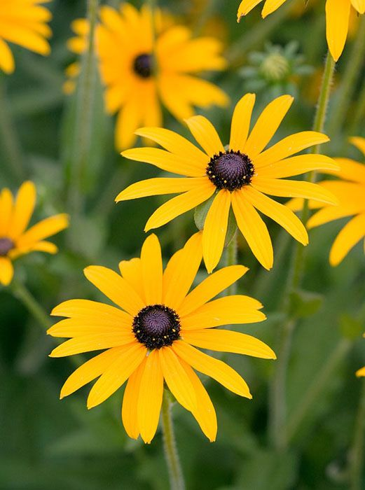 Rudbeckia fulgida var. sullivantii 'Goldsturm' - Large, golden-yellow, daisy-like flowers up to 12cm (5in) across with cone-shaped, blackish-brown centres from August to October. This award-winning black-eyed Susan looks great planted in bold drifts with other late summer-flowering perennials and ornamental grasses. Coping well in a sunny spot, it's ideal for the middle of a border that doesn't dry out over summer.