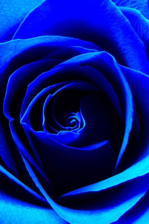 Color Desire | BLUE COBALT | RosamariaGFrangini || Blue rose