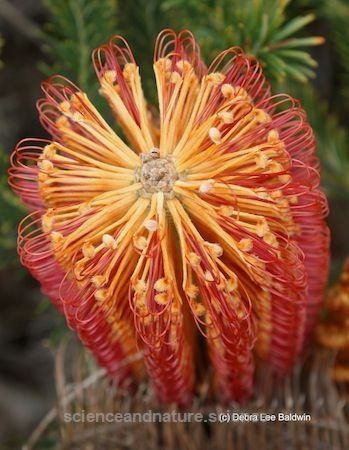 Proteas Please and Tease Me – Gardening Gone Wild  Bottle brush protea  http://www.scienceandnature.science/2017/05/29/proteas-please-and-tease-me-gardening-gone-wild/