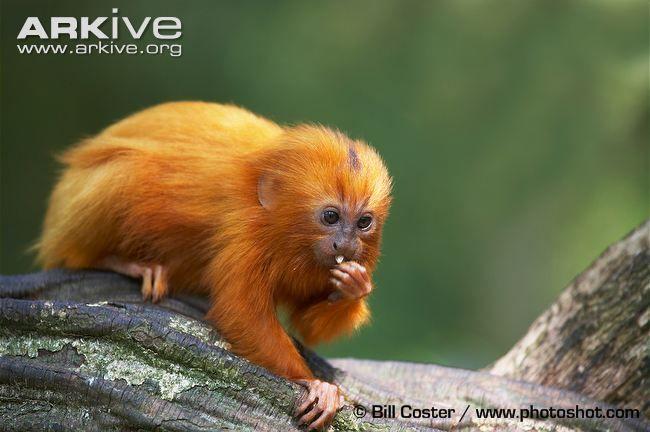 Golden lion tamarin videos, photos and facts - Leontopithecus ...