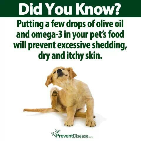 Did You Know? Putting a few drops of olive oil and omega-3 in your pet's food will prevent excessive shedding, dry and itchy skin.
