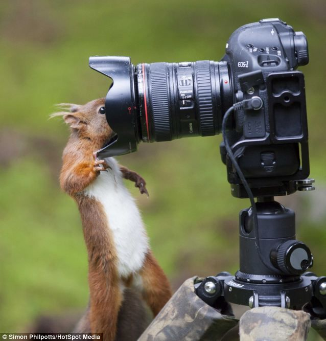 Say cheese: The brassy red squirrel peers into the lens of Simon Philpotts' camera