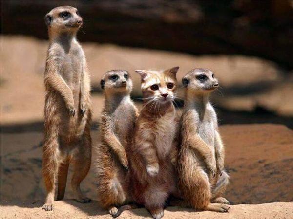 お題 ミーアキャット 動物群 頰ひげ 動物ミーム ミーアキャット 面白い画像
