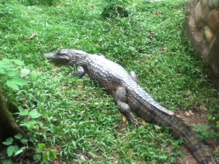 Crocodile at Los Ocarros Zoo.