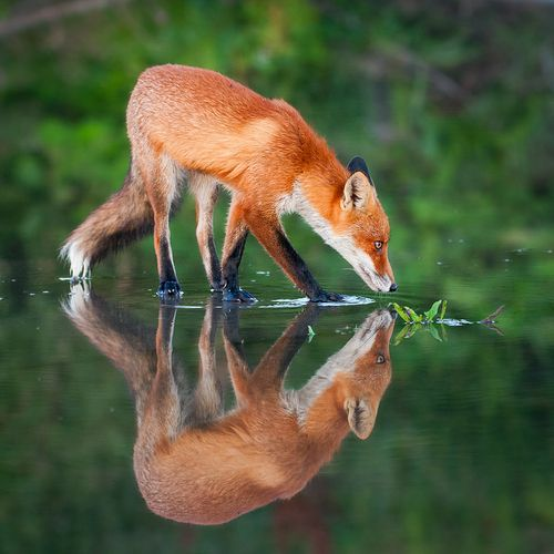 Fox on the water