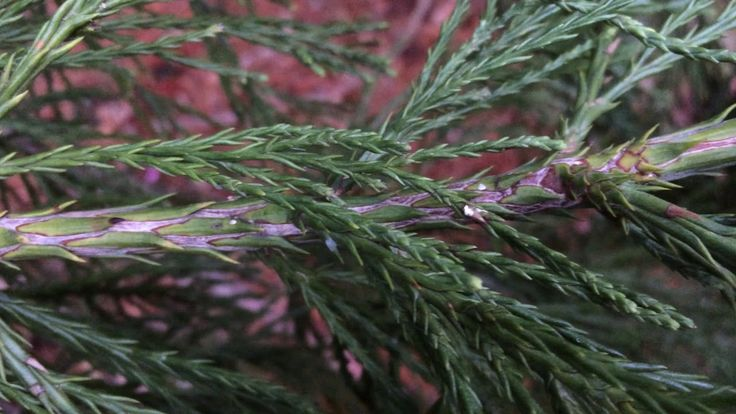 Giant redwood (Sequoiadendron giganteum) - branche close up - February 2018