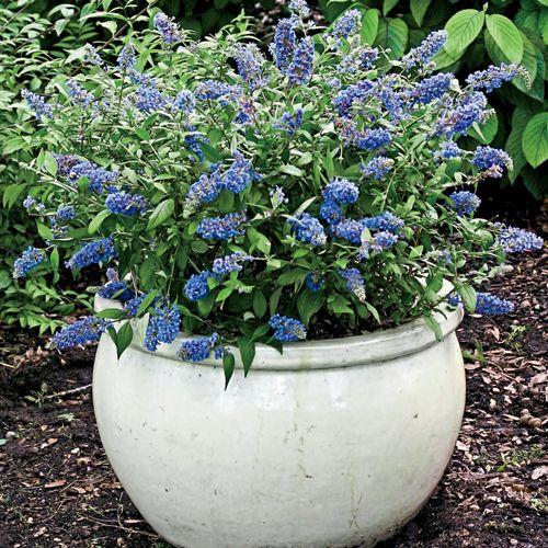 Put near new patio? Blue Chip dwarf butterfly bush