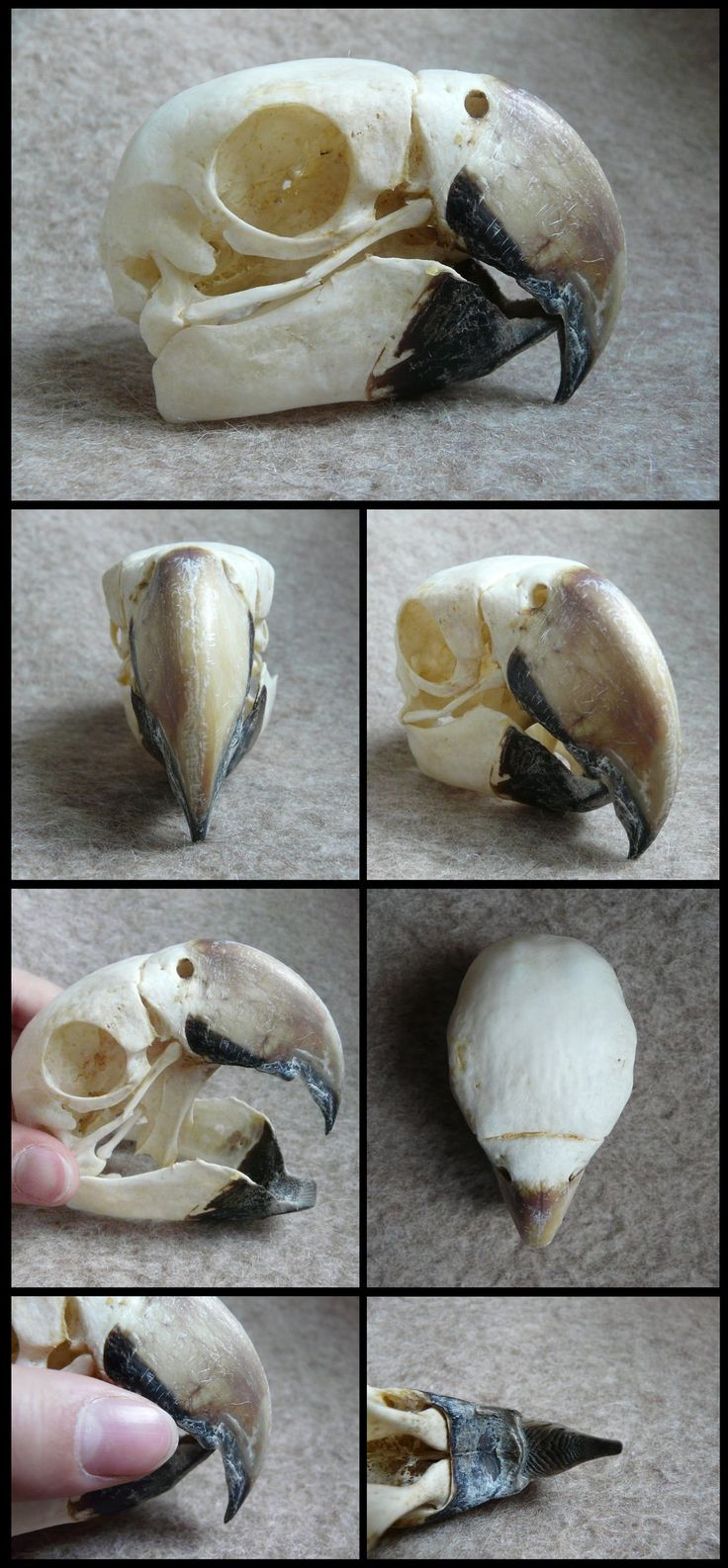 Macaw Skull by CabinetCuriosities on DeviantArt