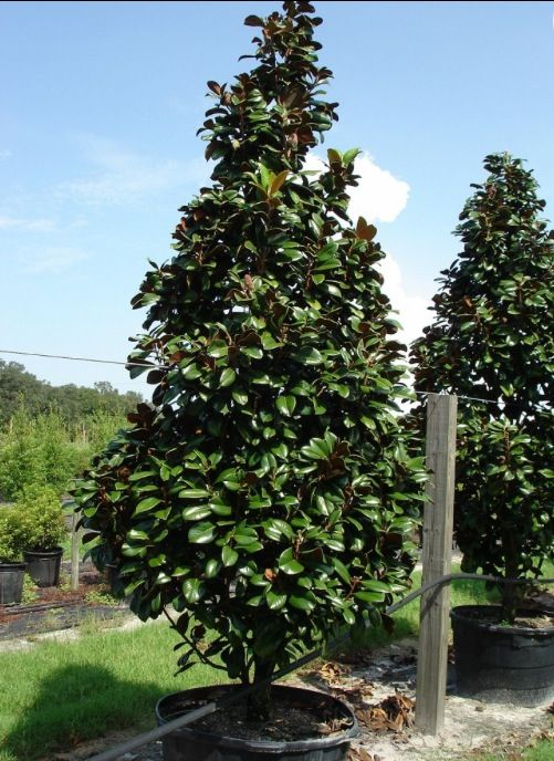 I Just Love These Trees Magnolia Teddy Bear Trees An