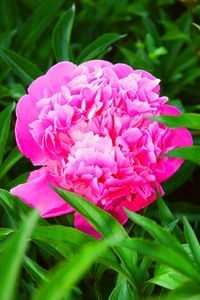 "Care and feeding of the Peony, also check out the link near the bottom of the page for the video ""Growing Peony Flowers"""