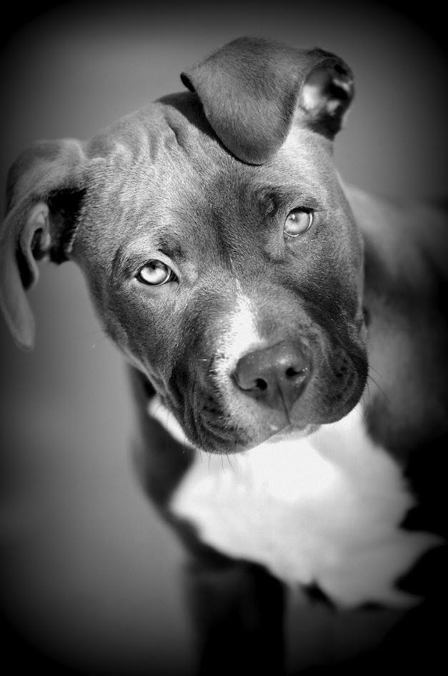 1000+ images about Pit Bull Black and White Photography on ...