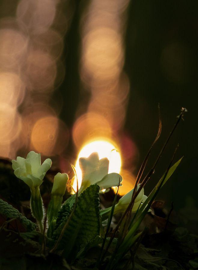 Primula vulgaris by Zsolt Szatmári on 500px