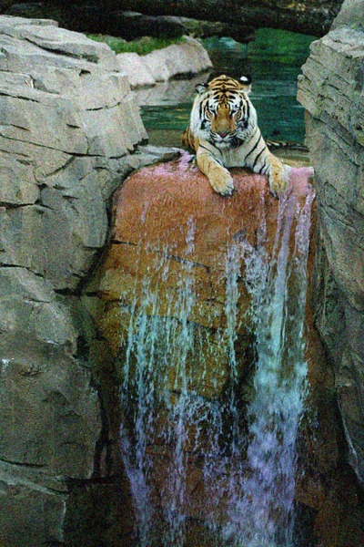 this photo captures two of my favorite things: waterfalls and tigers