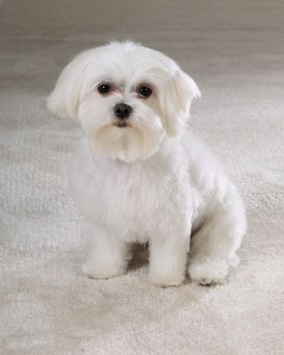 maltese puppy cut pictures maltese maltese puppies and puppys on pinterest 2747