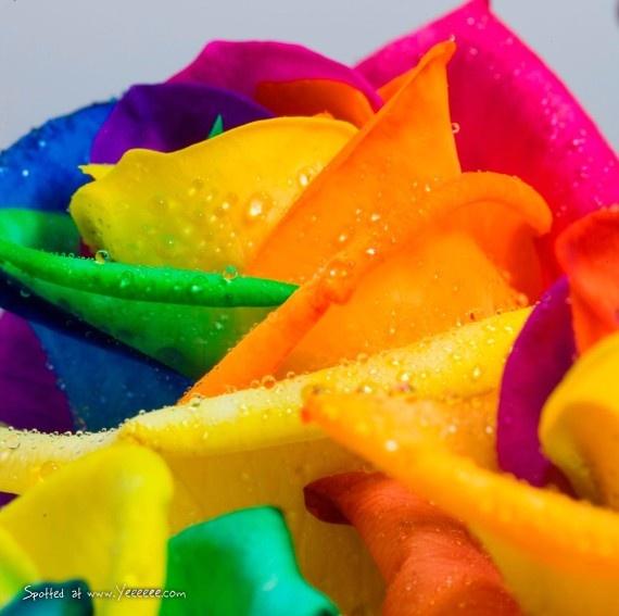 rainbow rose :)