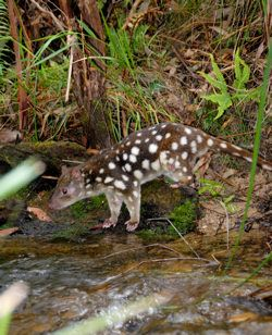 Spotted-tailed quolls are mainland Australia's largest native marsupial carnivore.