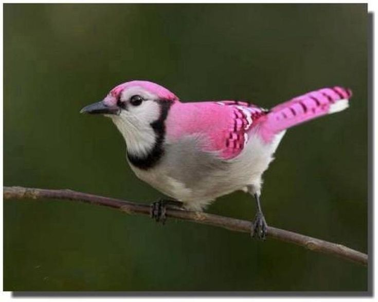 Fake! pink bird really a jay ( blue)
