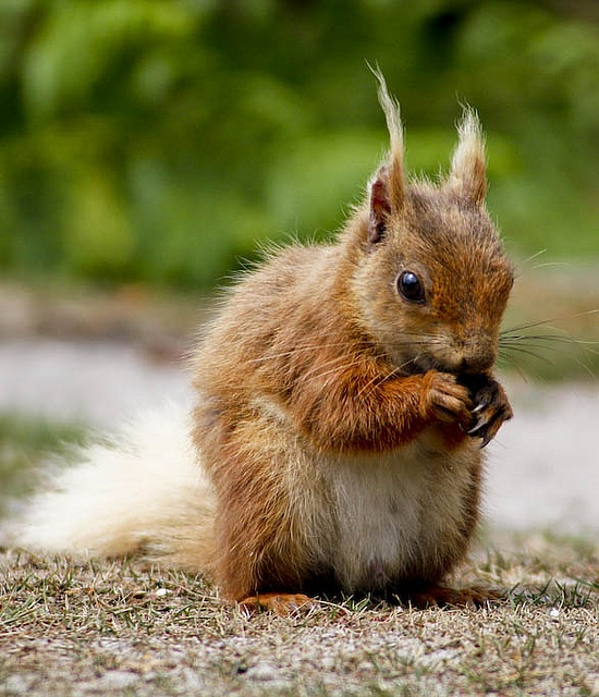 See the red squirrels on Brownsea Island, #Poole, #Dorset