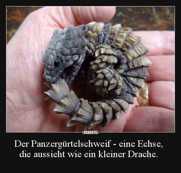 Der Panzergürteltail – eine Eidechse, die aussieht wie eine Eidechse.   – Facts