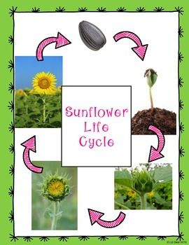 Sunflower Life Cycle Posters {FREE}