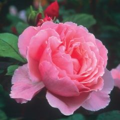 'Brother Cadfael' after the Ellis Peters detective story set in Shropshire where the David Austin Roses nursery is located.    I'd LOVE to have one, or more, of these if I could figure out how to keep it alive and happy here in Zone 4A!