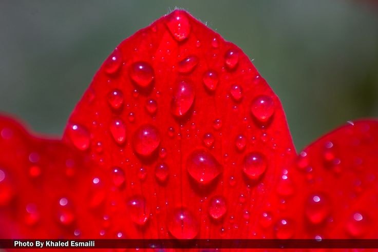 Dew drops on beautiful red! by Khaled Esmaili on 500px