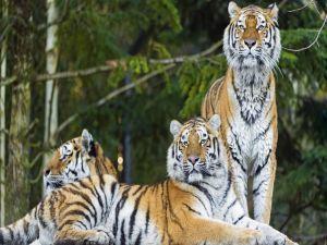 Tres tigres siberianos (Panthera tigris altaica)