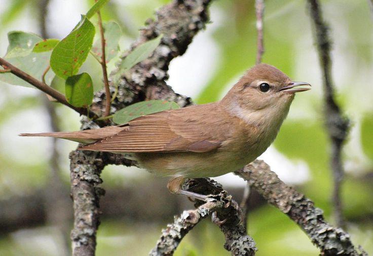 Sylvia borin (Örebro County) - Garden warbler - Wikipedia, the free encyclopedia