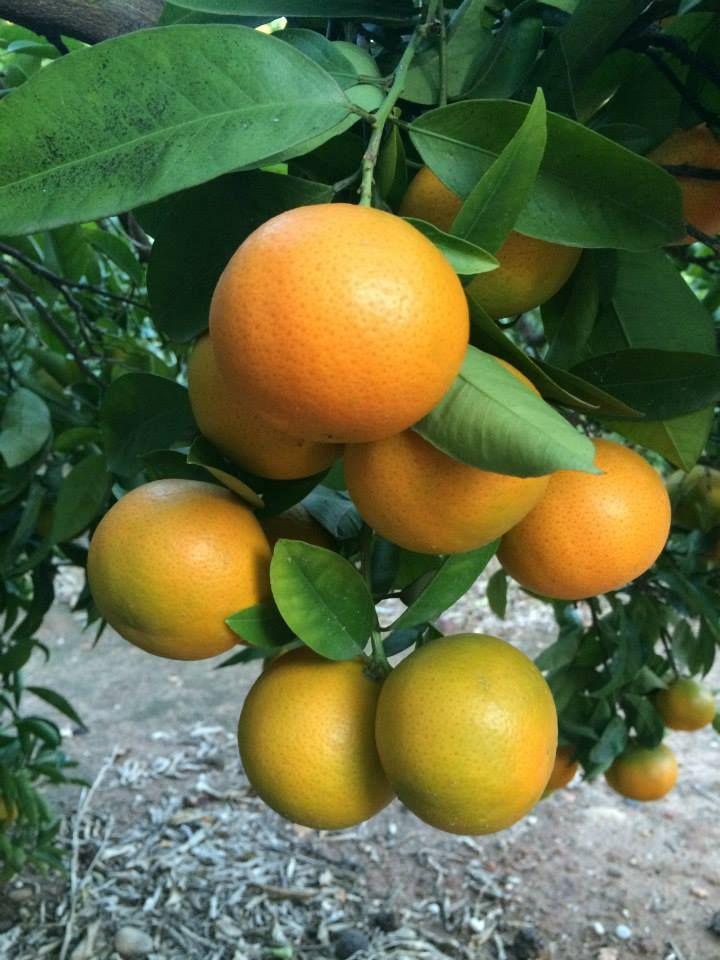 Nuestras naranjas crecen sanas y fuertes en los campos de Almassora. www.naranjasdemihuerta.com