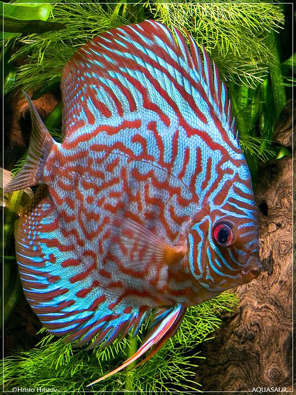Checkerboard Blood Discus.  Beautiful!