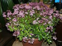 A Jade Plant in Bloom, Crassula argentea - this is a great article explaining how to care for, and get your jade plant to bloom. I'm so excited to give it a try!