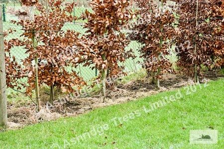 Cutting Back Young Beech Hedge Plants... The Basics.... Winter Planting of Bareroot Beech: Immediately after planting your beech hedge, trim off the leaf buds that are on the end of every stem, all over the plant, top and sides... [keep reading]