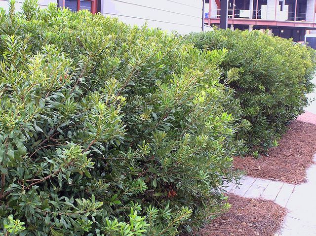 Myrica cerifera wax myrtle found as a native in the for Landscaping plants south carolina