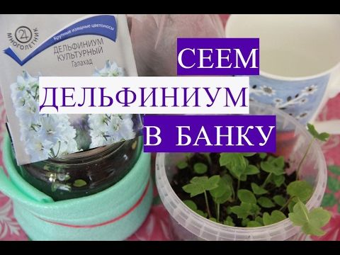 Дельфиниум из семян. Сеем Дельфиниум в Банку. - YouTube