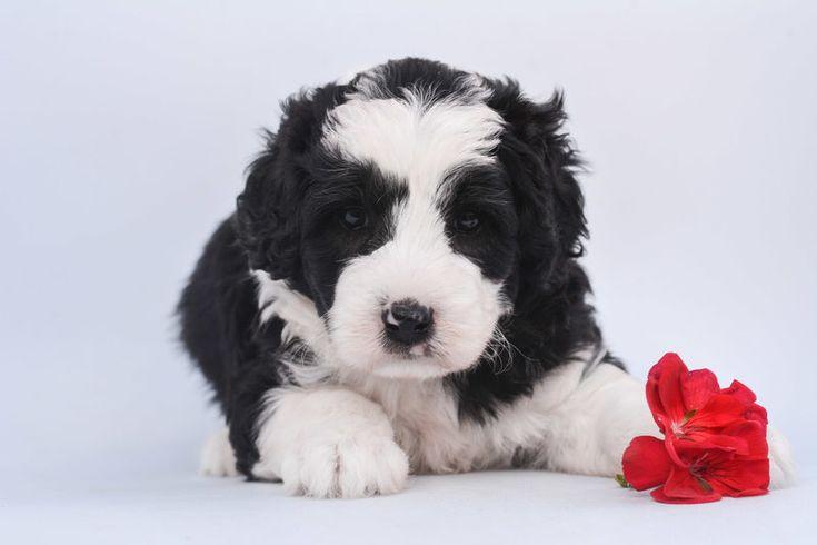 Mini sheepadoodle puppies in 2020 sheepadoodle puppy
