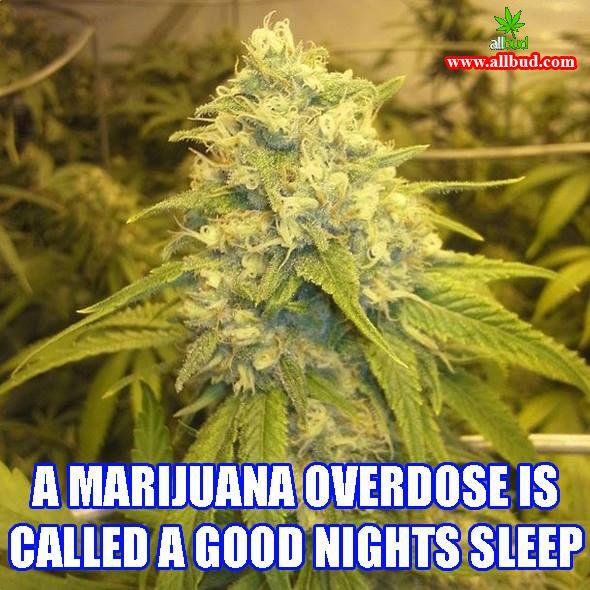 A marijuana overdose is called a good nights sleep! #allbud #marijuana #cannabis #weed #use #medical #legalization #medicalmarijuana #legalizemarijuana #smoke #enjoy #healthy