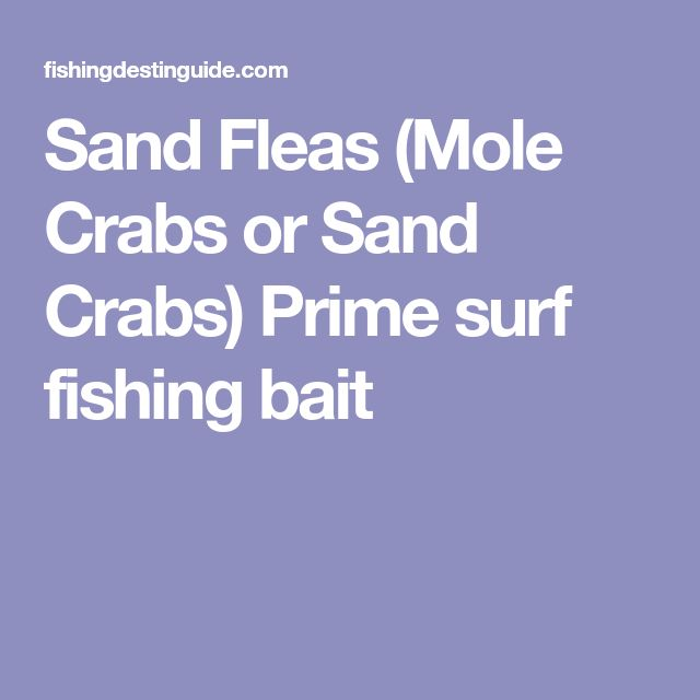 Sand Fleas (Mole Crabs or Sand Crabs) Prime surf fishing bait