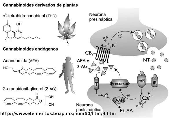 sistema #endocannabinoide