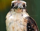 Lovely kookaburra
