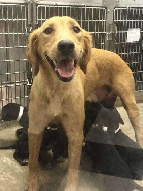 Tempest - Available for adoption! Golden Retriever Rescue