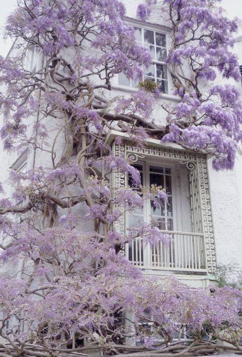 White house covered in purple tree vine