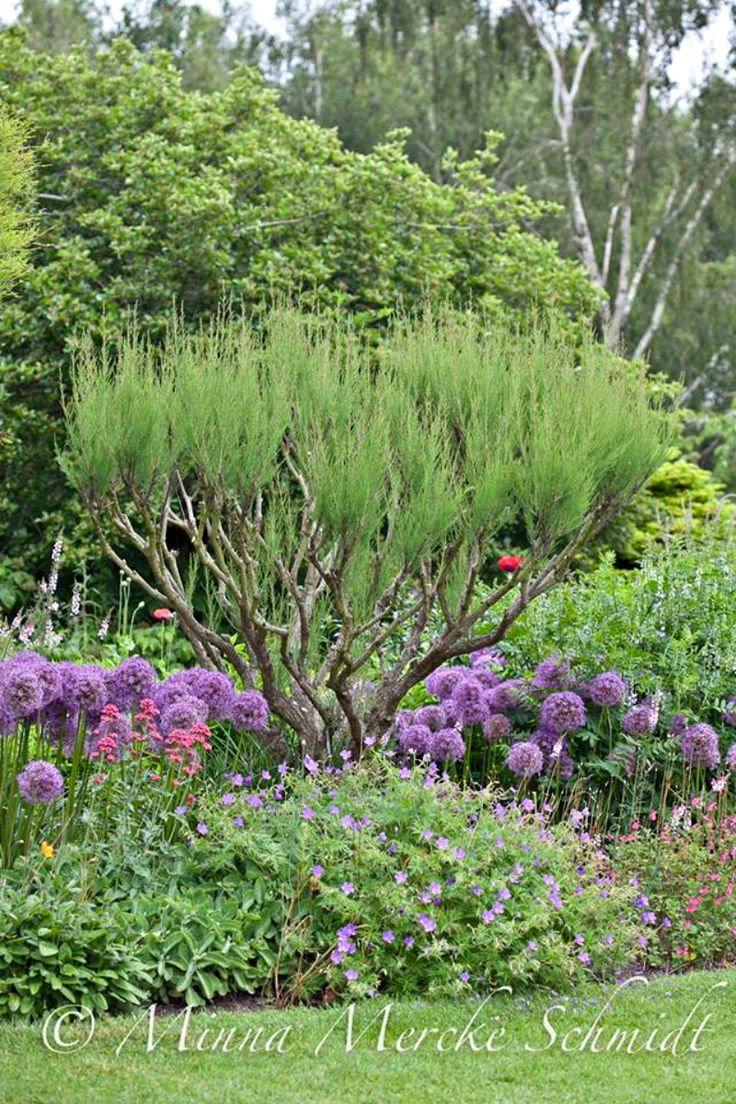 Purple Allium With Bushes And Other Perennials Garden