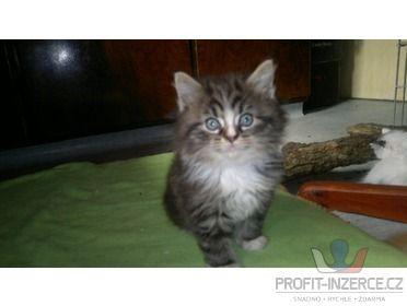 Prodám koťátka půl Mainská mivalí a Perš [at.jpg]