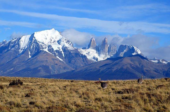 Ñandu at Torres del Paine
