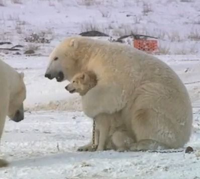 Polar bears and dogs playing