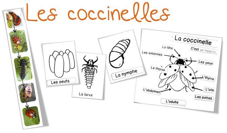 Sciences/Elevage : les coccinelles - Bout de gomme
