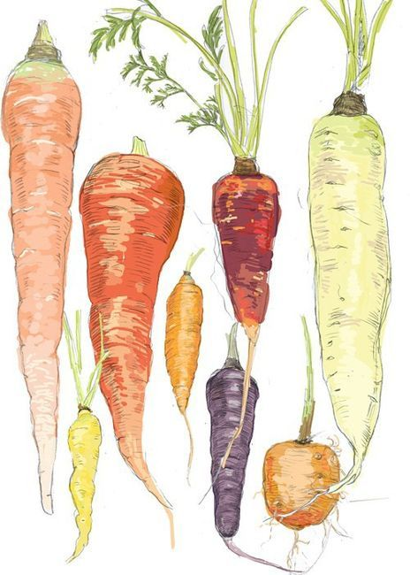 watercolor painting of carrots
