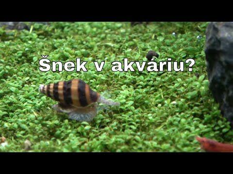 Juwel Akvarium – Šnek v akváriu, škůdce nebo pomocník? – YouTube – Chrasteva