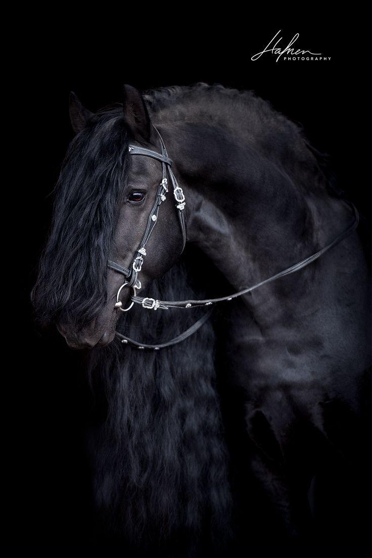 Schwarzer Friesen Hengst Vor Schwarzem Hintergrund Pferd