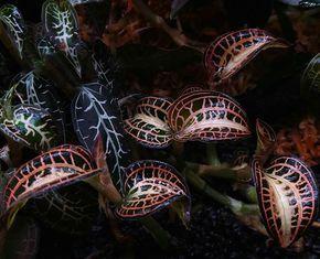 Anoectochilus albolineatus variegated  #aquarium #aqutic #bucephalandra #fern #frower #flora #plant #plants #fish #tetra #redbee #design #designer #landscape #anubias #Echinodorus #thailand #bangkok #indonesia #singapore #vietnam #europe #usa #america #flowers #moss #orchid #jewelorchid #rainforest